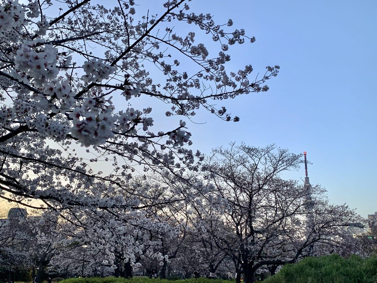 猿江恩賜公園桜